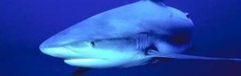 blue_shark.zip